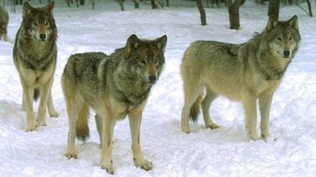 Про вовків