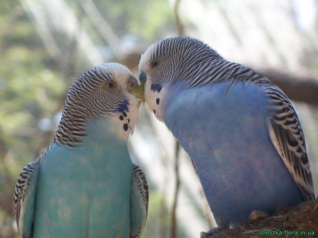 хвилясті папуги фото