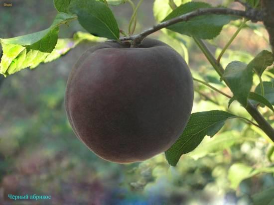 Купити абрикос сорту «Чорний принц» у Шостці