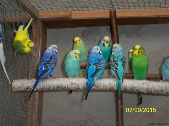 Фото хвилястих папуг