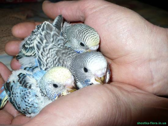 Розмноження хвилястих папуг