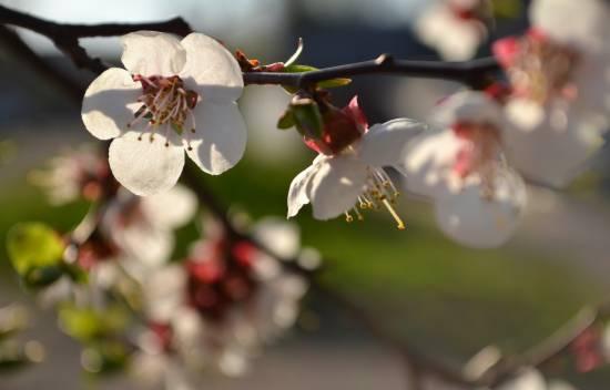 Квіти абрикоса
