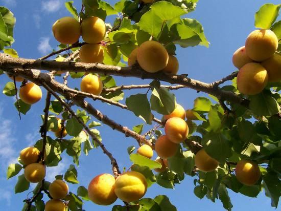 Як прищепити абрикоси
