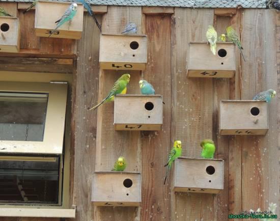 Хвилясті папуги самки