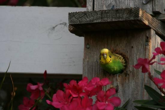 Купить попугая в Шостке